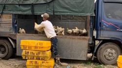 Giá gia cầm hôm nay 22/2: Dân nuôi gà trắng than lỗ, người nuôi gà màu, vịt thịt kiệt quệ vốn liếng