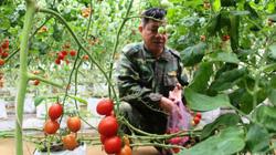 Giống cà chua được một nông dân Nghệ An trồng là giống gì mà bà con kêu quá trời thu hoạch mỏi tay không hết?