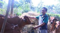 Đắk Lắk: Nuôi bò sinh sản-mua 3 con bò, nuôi sau 2 năm số bò tăng lên gấp đôi