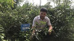 Hòa Bình: Nông dân vùng này trồng 2 loài cây gì mà các nhà thuốc Đông y tới tấp đặt mua cả lá cả thân?