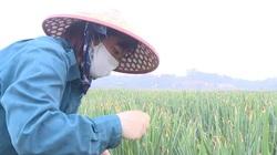 Phú Thọ: Tồn hơn 30 tấn hành lá ngoài đồng vì thương lái Hải Dương không lên lấy hàng được, nông dân cần giải cứu?