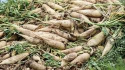 Củ cải to dài trắng nõn được mùa nhưng nông dân Thủ đô vẫn phải ứa nước mắt mà nhổ bỏ vì lý do này
