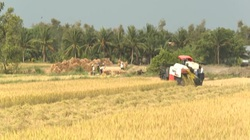 Thời tiết thuận lợi, nông dân trồng lúa Bến Tre trúng mùa được giá