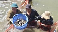 Đà Nẵng: Thu tiền tỷ từ nuôi cá dìa đặc sản ven sông Cu Đê