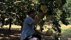 Đồng Nai: Giá bưởi dưới 9.000 đồng/kg, nông dân thua lỗ gần 200 triệu/ha
