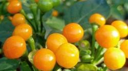 Loại ớt Lý Hải - Minh Hà vừa trồng thành công có chất gì mà giá lên tới 500 triệu đồng/kg?