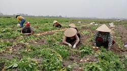 Bắc Giang: Xót xa khoai tây, ngô đông giá giảm mạnh, đơn hàng bị hủy vì Covid-19
