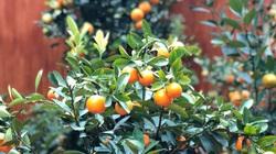 Tết Tân Sửu: Quất bonsai mini, vừa túi tiền dễ bán, dễ mua, dễ trưng bày đắt khách như tôm tươi