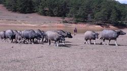 Lâm Đồng: Lạ, nuôi trâu nhà mà như nuôi trâu hoang, 5 thì 10 họa mới vô rừng thăm phải mang theo thứ này