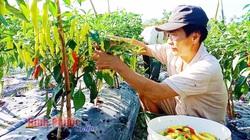 Bình Phước: Trồng có 5 sào ớt sừng, 5 tháng sau hái trái mỏi tay bán được 700 triệu, cứ như trúng số