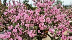 Đào lai Nhật Bản độc lạ, đẹp mê hồn lần đầu xuất hiện tại Thanh Hóa