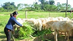 Tuyên Quang: Bà Chủ tịch nuôi ngựa trắng, ông Chủ tịch nuôi trâu đen, cả 2 đều giàu lên ở  Khau Tình