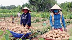 Bến Tre: Lạ, nhiều nông sản ùn ứ, ở đây trồng thứ củ ăn vặt bán lại rất nhanh, chưa đến Tết đã hết hàng