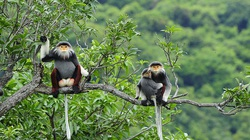 Thú rừng quý hiếm má trắng hếu, bế nhau ngồi trên cây đang được tỉnh Quảng Trị bảo vệ là loài gì?