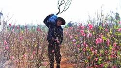 """Đắk Lắk: Vụ hoa đào Tết buồn, thương lái """"bỏ của chạy lấy người"""", nông dân trồng đào lao đao"""