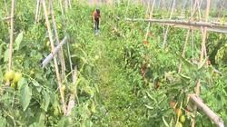 Cao Bằng: Vì đâu cà chua chín đỏ rực cả cánh đồng nhưng nông dân không mặn mà thu hái?