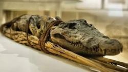 Rợn người nghi thức ướp xác cá sấu đáng sợ của người Ai Cập cổ