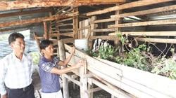Ninh Thuận: Tiền vốn Quỹ Hỗ trợ nông dân giúp đồng bào dân tộc thiểu số trồng cây đặc sản, nuôi con đặc sản
