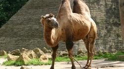Lạc đà hai bướu - loài lạc đà to lớn nhất thế giới còn sống sót