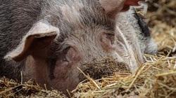 """Truyền thuyết phương pháp nuôi lợn """"thần kỳ"""" của Liên Xô khiến cả thế giới ngưỡng mộ"""
