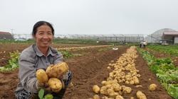 """Thanh Hóa: Vùng đất này trồng thứ cây gì mà sau 3 tháng bới gốc lên hàng đống củ """"khổng lồ"""", bán ngay tại ruộng"""