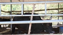 Được ăn gì mà đàn bò tót từng gầy trơ xương gây xôn xao giờ đang nuôi ở tỉnh Ninh Thuận béo khỏe hẳn lên?