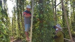 Giá tiêu ở tỉnh Bà Rịa-Vũng Tàu bất ngờ tăng cao gấp đôi, nhiều hộ chặt bỏ cây tiêu lại tiếc nuối