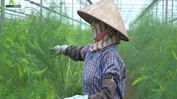 """Trồng loại cây được mệnh danh là """"rau hoàng đế"""" nông dân Phú Xuyên thu tiền triệu mỗi ngày"""
