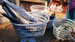 Cá biển có cả trăm loài, vậy tỉnh Quảng Trị đang muốn xây dựng thương hiệu cho loài cá nào?