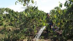 Lâm Đồng: Hơn 10.000ha cây trồng bị ảnh hưởng, người dân chủ động chống hạn