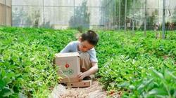 Gia Lai: Trai phố đánh liều trồng giống dâu tây lạ, mới trồng 2 vụ bán trái đã đủ 2 tỷ đồng trả vốn