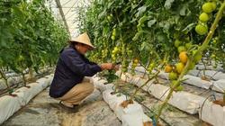 """Điện Biên: Từ trồng cà chua công nghệ cao, nông dân có """"4 cao"""" khác là những """"cao"""" nào?"""