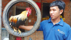 Bình Định: Bỏ phố về quê nuôi chim trĩ, chim công, gà kiểng độc lạ, ai ngờ lại khá giả hẳn lên