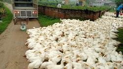Giá gia cầm hôm nay 14/3: Cập nhật giá gà, vịt mới nhất, giá vịt thịt miền Nam tăng cao