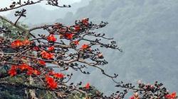 Chùa Hương: Hoa gạo nở bung sắc đỏ dọc suối Yến khiến du khách ngẩn ngơ