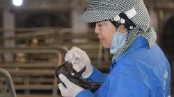 Từ một mẩu mô tai, Việt Nam nhân bản thành công giống lợn Ỉ tưởng chừng đã bị tuyệt chủng