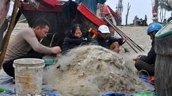 Thanh Hoá: Ngư dân ở đây đi bộ 10-15km dọc bờ biển để làm gì mà thu tiền triệu mỗi ngày?