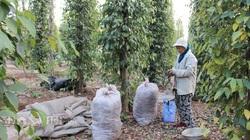 Giá tiêu hôm nay 16/3: Biến động từng ngày lên 75.000 đồng/kg, nông dân nói điều bất ngờ!