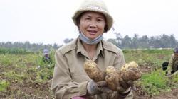 Trồng giống khoai tây tên nghe rất Tây, nông dân ở đây cứ ung dung mà đút túi 7-9 triệu/sào