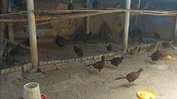 """""""Mục sở thị"""" đàn chim trĩ, công, gà độc lạ cả nghìn con của chàng cử nhân đại học"""