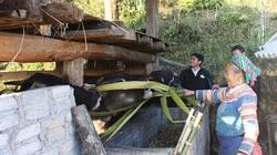 """Hà Giang: Có vốn đầu tư nuôi trâu, người Mông vượt """"đá"""" vươn lên"""