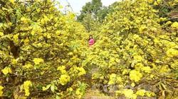 """Chủ tịch Thừa Thiên- Huế với kế hoạch """"mai vàng trước ngõ"""": Hy vọng 5-10 năm tới, Huế thành xứ sở mai vàng"""