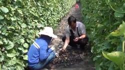 """Trồng loại cây """"nghèo kiết xác"""", nhiều nông dân lượm về loại hạt đem bán thu lợi nhuận cao"""