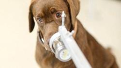 Tin vui Covid-19: Loài chó này đánh hơi chính xác virus trong mồ hôi nách người bệnh