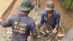 Đồng Tháp: Đóng cống nuôi cá đồng, nông dân kéo lưới lên cá lóc, cá rô nhảy rô rố, bắt lên bán rõ đắt hàng