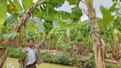 """Ninh Bình: Trồng thứ chuối lạ, vác nặng lặc lè, """"bán từ gốc đến ngọn"""", một ông nông dân bỏ túi hơn nửa tỷ/năm"""