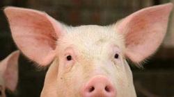 Công ty thịt lợn Dabaco có thể đạt lợi nhuận gần 1.000 tỷ đồng