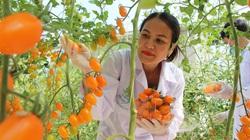 Đắk Lắk: Một cô giáo tập làm nông dân, trồng cà chua lạ công nghệ cao mà tay trái kiếm nhiều tiền hơn tay phải