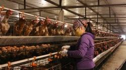 """Giá gia cầm hôm nay 21/3: Trứng, gà thịt liên tục ế ẩm, chủ trang trại phải bán tháo, """"bỏ chạy"""""""
