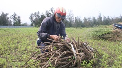 Hà Tĩnh: Nông dân đào đào, bới bới, cắt cắt thứ cây dại mọc tràn lan bờ biển mà kiếm bộn tiền